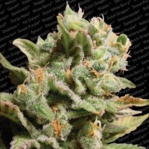 Paradise Seeds - Dutch Dragon